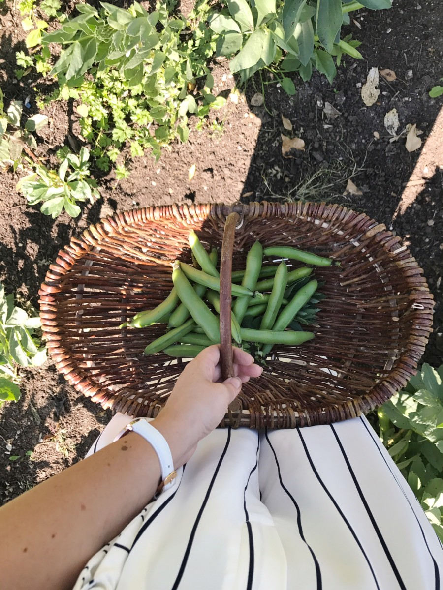 Thyme Veggie Patch Bean Picking
